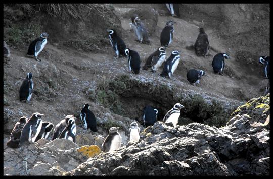 Pinguini di Magellano, ma Chiloé è anche il confine meridionale dell'areale del pinguino di Humboldt.