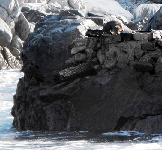 <a href='  http://www.marcofintina.com/public/upload/download/Lontra felina.jpg'> Una Lontra marina del sud o gato de mar o chugungo (lontra felina) </a>.<br /> <br />
