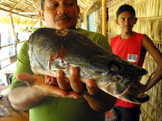 Testa di un giovane Pirarucu da poco pescato nel Rio Negro, vicino a Sao Tomé.