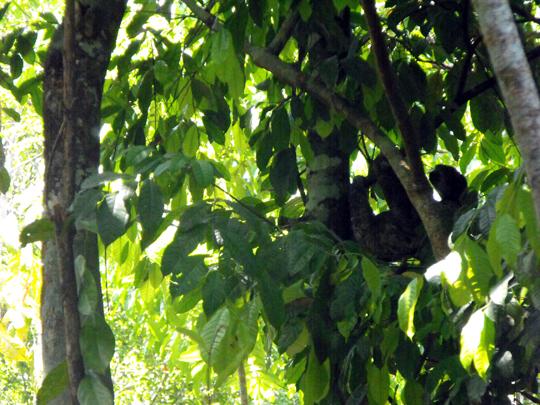 Il bradipo tridattilo (bradypus variegatus).