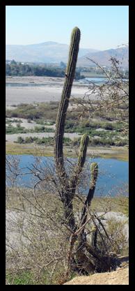 Cactus sul 'secano' Mataquito.