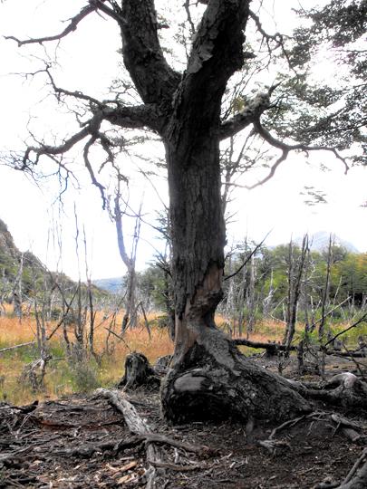 In una vecchia 'castorera' un grosso albero lasciato a metà dai roditori.