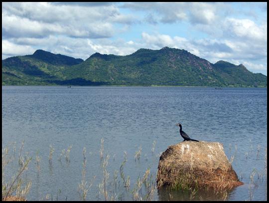 Cormorano sul lago Lagdo.