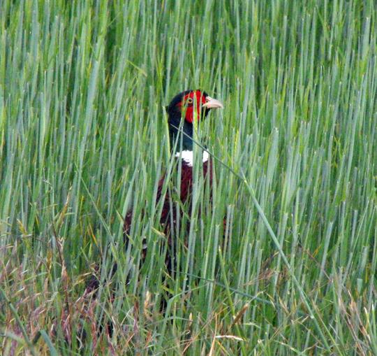 Un bel fagiano tra un piccolo campo e un'ampia rotonda, sembra stupito di dover adattarsi a vivere lì, non sembra sapere perchè c'è. Ha una vaga idea di essere preda, ma sembra confuso e non si nasconde.