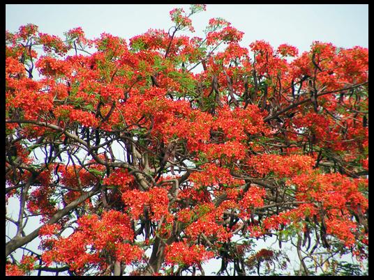 Immensa bellezza di questi alberi fiammeggianti di fiori, al nostro arrivo.