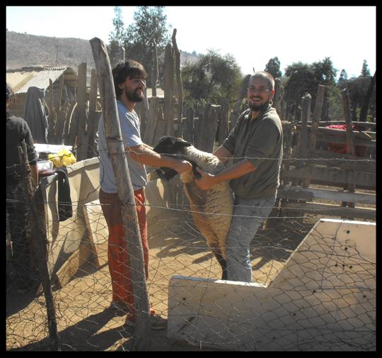 Con Stefano, all'inizio della vaccinazione di un centinaio di pecore.