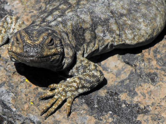 Una grassa femmina di Phymaturus flagillifer, lucertola che vive solo qui en el Enladrillado. Padrona di casa confidente e curiosa.