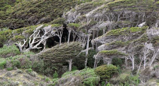 Le foreste di notophagus sono pettinate e strappate dai venti polari così regolarmente da sembrare verdi fasce geologiche sul fianco dei colli.