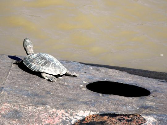 Porto Madero di Buenos Aires, sopra uno scafo affondato prendono il sole le tortugas de lagunas (Phrynops hilarii)