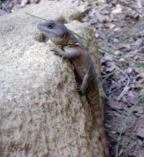 Un giovane gruñidor del sur (Pristidactylus torquatus), fotografato da Stefano.