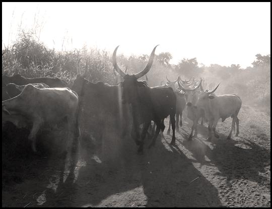 Un'altra immagine antica di un dio nomade e rurale, le mandrie cominciano ad alzare la polvere, sono alla massima salute e vengono guidate fin nel cuore della brousse per cercare l'ultima erba verde.